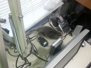 Possum attacks mouse!  Yes...the possum jumped down from the microphone stand and landed on a mouse (computer) putting the mouse on it's back.
